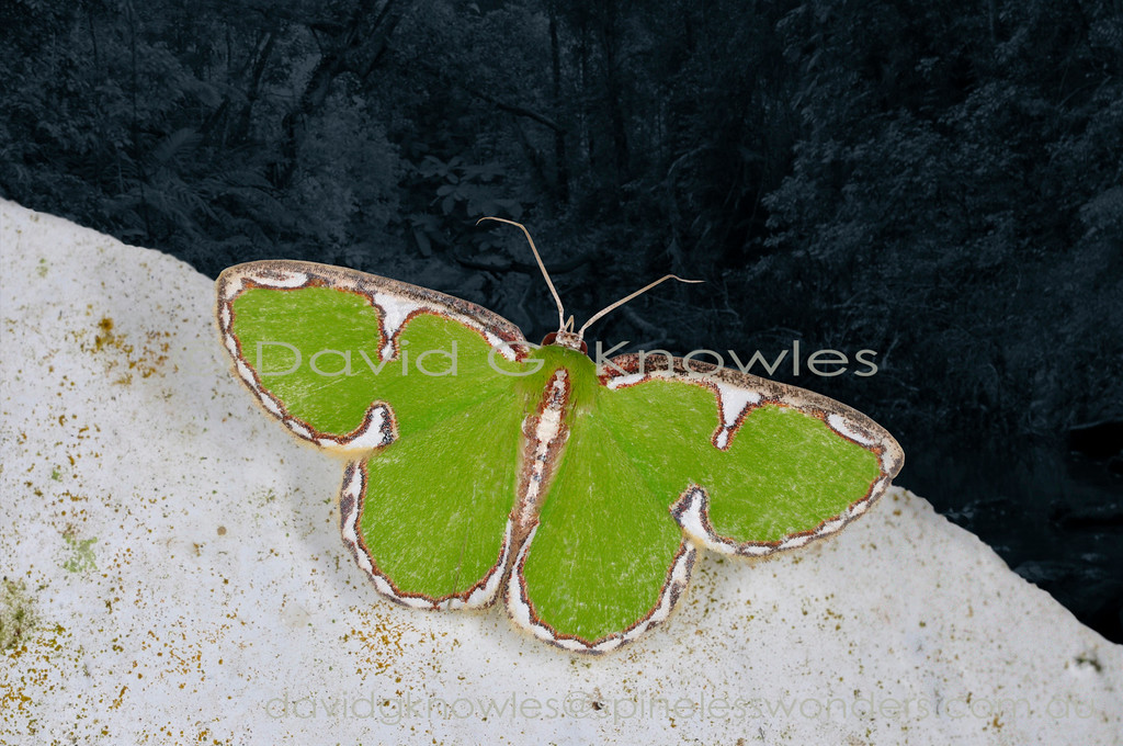 This charming little moth clearly is safest when it is settled among the complex visual mosaic presented to predators by green and white lichens. It is surprisingly widespread extending from Peninsular Malaysia, Sumatra, Philippines, Borneo, southern Moluccas, Sulawesi east to New Guinea and north east Australia