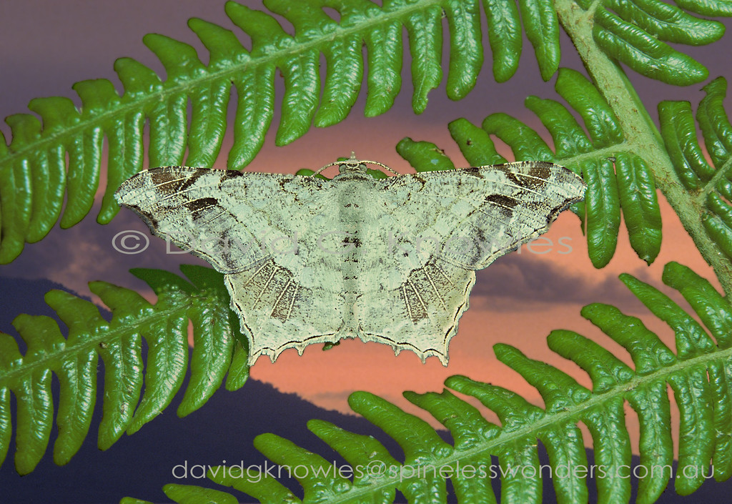 I get the feeling this moth has opted for a 'finger in two camouflage pies'. A dead and fallen lichen covered leaf with old bite marks and hints of veins; or a lichen covered bark flake still attached or discarded. This moth species ranges from Thailand to Borneo and then east to Sulawesi