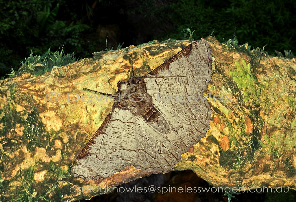 The strong streaking on these geometer moth wings suggests a fresh attached bark flake from pallid lichen-covered bark. The darker brown leading wing edge and body markings would probably equate to shadows of 'legitimate' lichen bark flakes. Lophophelma luteipes extends from the north-eastern Himalayas, Thailand, China, Malaysia to Borneo and western Indonesia