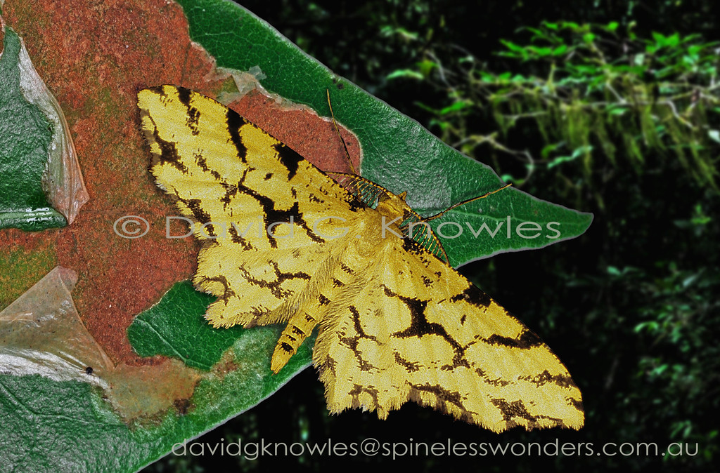 This moth uses a dead yellowed leaf as a backdrop for its camouflage. It is not an uncommon colour generated by the breakdown products from green chlorophyll. Superimposed over the yellow are old feeding scars (when the leaf was green) left by a small leaf miner. These vacated mines have been subsequently colonised by a sooty mold. The species is endemic to Borneo