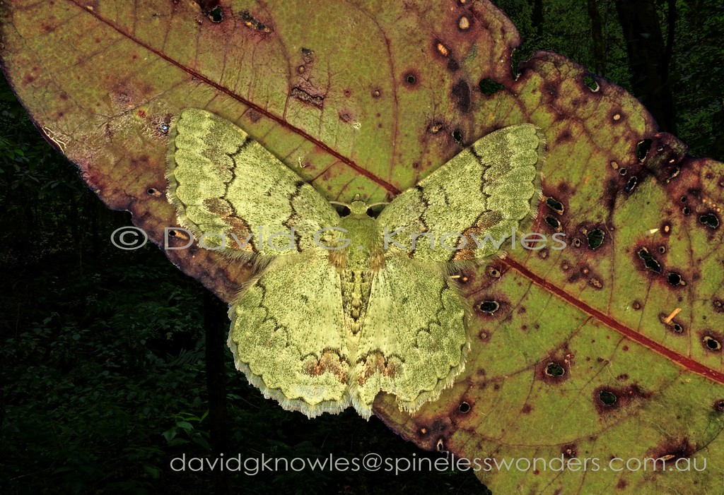 The amount of green on this geometer moth's wings suggests it normally rests on living leaves heavily colonised by pallid lichens. Equally it may camouflage successfully on a fine-grained green-barked sapling heavily colonised by pallid lichens. The species extends from China, India, the north-eastern Himalayas, the Philippines, south to Malaysia and Indonesia