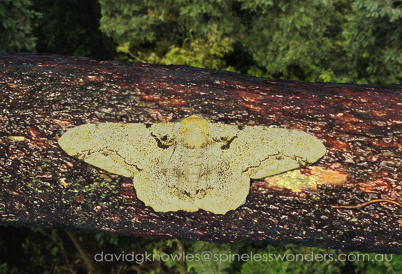 Many rainforest lichens that 'patchwork' most plant surfaces are cream to white. I decide to place this Geometer moth on a contrasting darker background to emphasise its long forewings. Boston insularis occurs on Peninsular Malaysia, Sumatra, Borneo extending south to Java