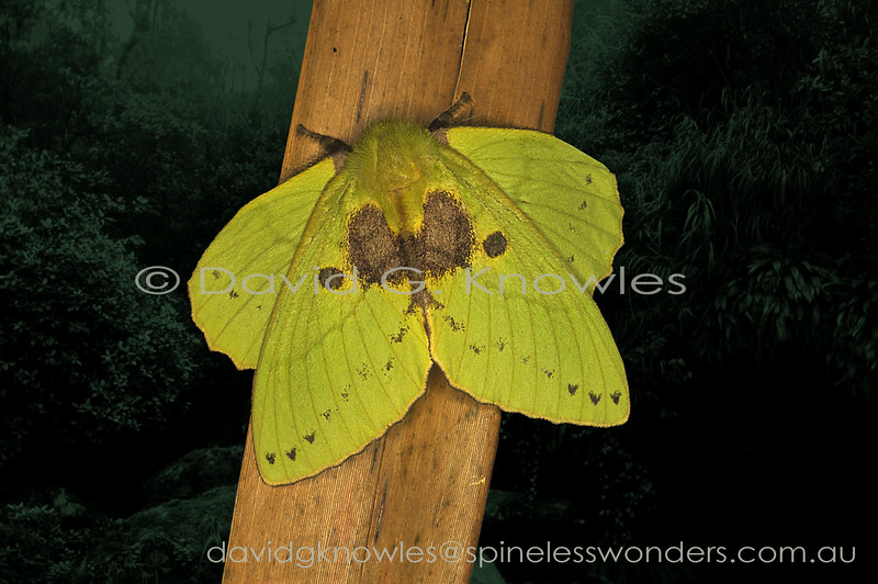 The majority of moths of this family conceal the hindwings beneath the forewings. With a bit of creative muscle rearrangement by maintaining the forward flexion 'in-flight' position the South East Asian and African genus Trabala has created four living leaves. In addition these 'yellowing and dying leaves' have been mined by another insect and sooty mould has moved in afterwards. T. ganesha extends from Peninsular Malaysia to Sumatra, north to Borneo and south to Java