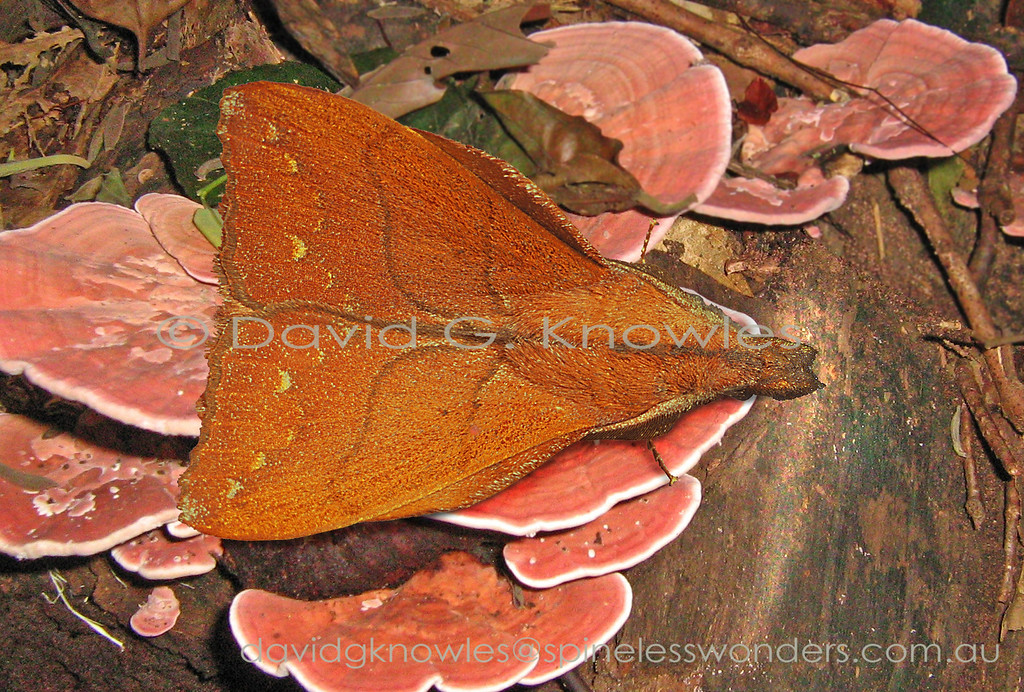 The distinctive shape of this group of Lasiocampid moths may have two possible explanations of the model for camouflage; two dead leaf buds (based on size of moth) once joined onto a stem; or a single fallen seed capsule. Typically the leading edge of the hindwing protrudes beyond the forewing. Arguda albiscutulata extends from Peninsular Malaysia and Sumatra to Borneo