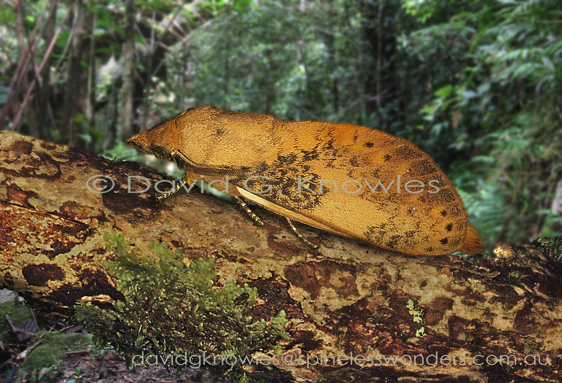 This profile of Kunugia clearly demonstrates one of the common names attributed to this family of 'snout moth' . As far as camouflage goes my first thought was this is a fallen dead leaf  model. Then on second thoughts, maybe this species has taken a compromise camouflage position by also resembling a fallen  bark chip. Clearly further research is required to confirm or deny these suggestions. Kunigia ranges from Peninsular Malaysia and Borneo and south to Java
