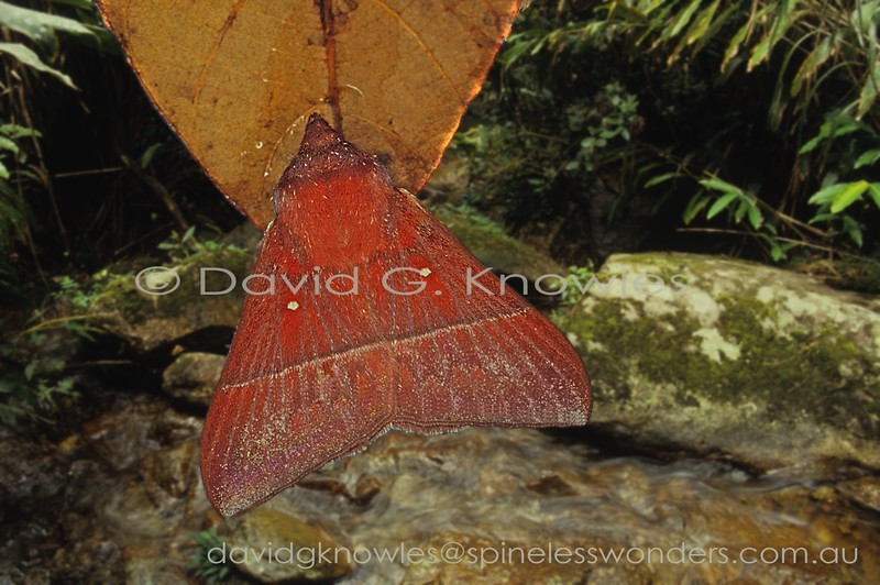 Odonestis species employ a very simple camouflage pattern generated from dead red or brown leaves. In this species' case a pair of prominent mould spots are added. This species is endemic to Borneo