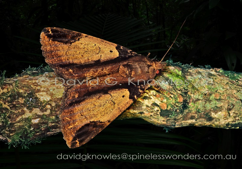 This species has a wide distribution in South East Asia from India, China and Japan to the Moluccas. It resembles  a bark flake. Noctuid eyes also reflect strongly red in a headlamp beam. A hint of 'red-eye' can be seen in this photo. The fallen bark flake camouflage theme is common among particular subfamilies in this grouping