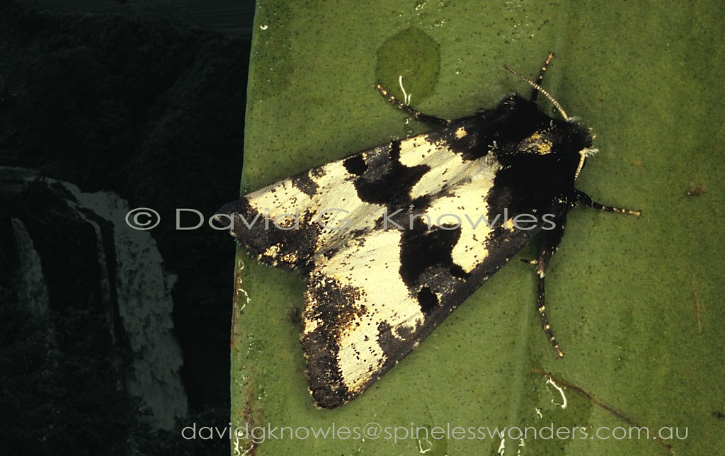 This 'pied' moth holds its wings in a tent-like fashion typical for most members of the Family. In this case the 'tent' gives the moth a profile that blends in well with the folds and frills of a coarse white lichen casting shadows. Phlogophora nigroplumbea extends from the Philippines and Borneo south to Java