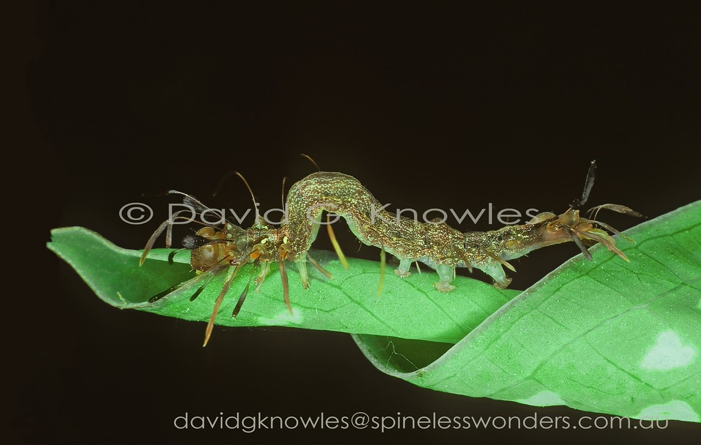 Although the adult moth is unspectacular the bizarre mature caterpillar somehow has learned to mimic not one but two aggressive and ubiquitous weaver ants. When two hyperactive ants meet face to face they exchange both chemical and subsonic (to us) messages all the time gesticulating with every appendage. This combined with the two pairs of dark globular eyes makes for a frenetic jumble of movement. When the caterpillar meets a threat, including ants, it waves its appendages in a similar fashion. Homes extends from India, Thailand, Peninsular Malaysia and Borneo then south east to New Guinea and northern Australia
