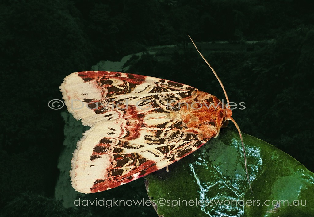 This attractively marked moth is considered a garden pest by bulb lovers from subtropical southern Japan to subtropical northern New South Wales Australia. Although this is not strictly a rainforest moth it can be found in agricultural lands, orchards and gardens adjacent to that habitat