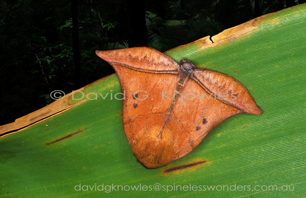 The distinctive shape of this Nolid moth may have two possible explanations of the model for camouflage; two dead leaf buds (based on size of moth) once joined onto a stem; or a single fallen seed capsule (fruit). Perhaps a fallen dipterocarp fruit? This distinctive species is endemic to Borneo