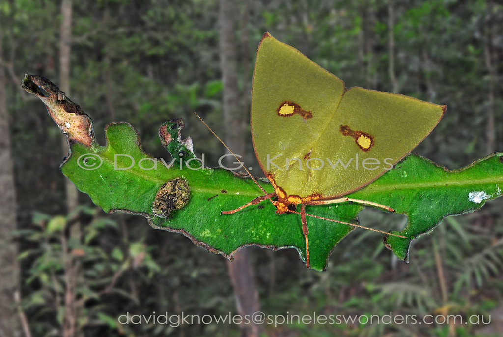 Female Tyana marina have variable leaf damage patterns to their living leaf camouflaged wings. This female shares a perch with a small leafhopper. Tyana marina is endemic to Borneo