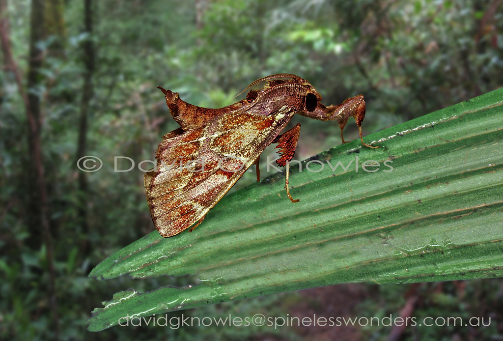 Whilst both leaves and bark flakes can curl, in rainforests curling is more a response to death from 'disease' in the case of leaves. In dry climates curling is a response to desiccation. The elevated stance of Saccada species adds '3D authenticity' to the snagged bark flake chunk camouflage they employ for survival. Whilst the elevated stance of this moth casts symmetric shadows which can be an 'give-away' signal to a predator's search image, the leg tufting helping to fragment the shadows. Also in rainforests the light is diffuse due to clouds and mists and does not normally cause harsh shadows