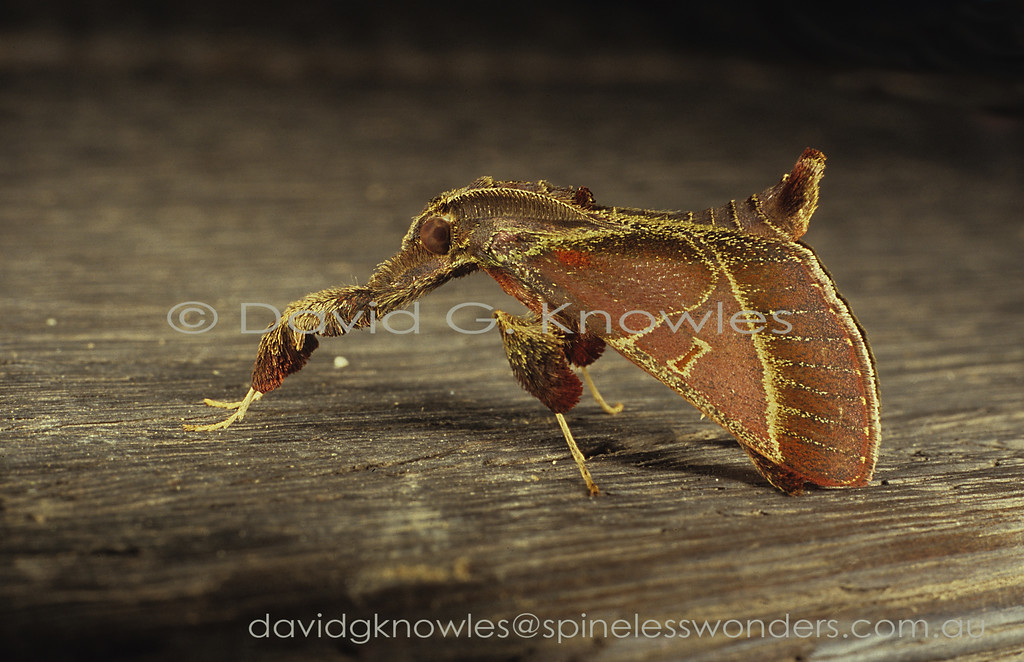 The elevated stance of this Saccada species adds '3D authenticity' to the snagged bark flake chunk camouflage they employ for survival. The males also have strongly feathered (pectinate) antennae which is atypical for the family