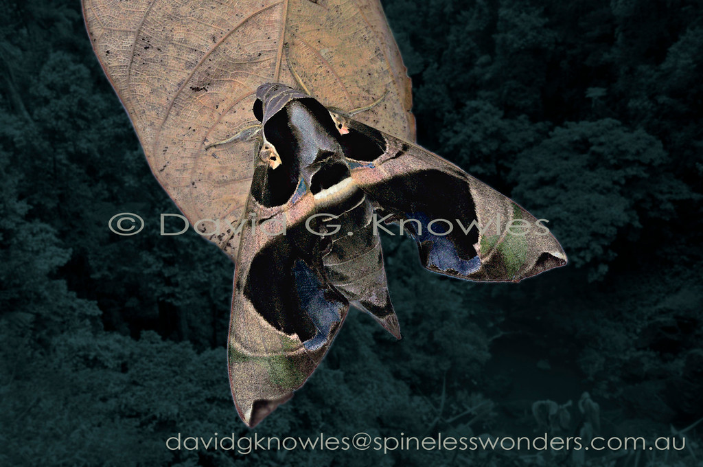 Members of the genus Daphnis are characterised in part by having a 'batlike or Birdlike' face mask (depending on viewpoint) over the thorax and adjacent forewing. This species extends from India, Thailand, Malaysia, Indonesia east to New Guinea and Queensland northern Australia