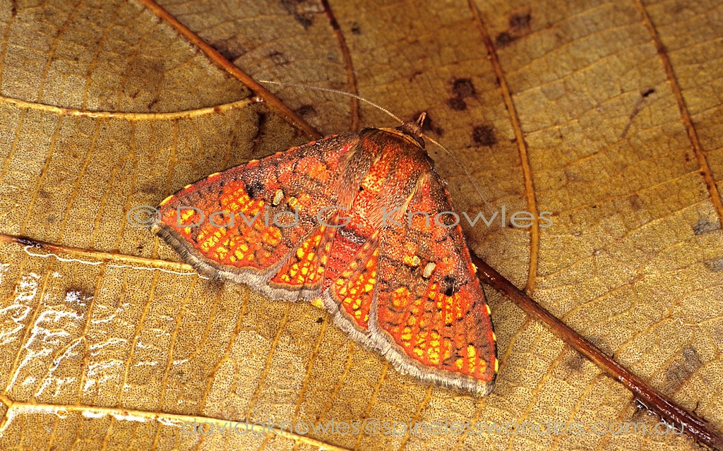 When a dying leaf is discarded by the parent plant the chlorophyll is the first to die. It normally masks the carotenoids and anthocyanins, including yellow and red. Usually one or the other is revealed after death, or red first then yellow. The latter case seems to describe the scenario 'painted' on this picture-winged moth. This species extends from Peninsular Malaysia to Sumatra and Borneo