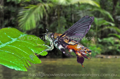 SE Asian Sesiidae (Clearwing Moths)