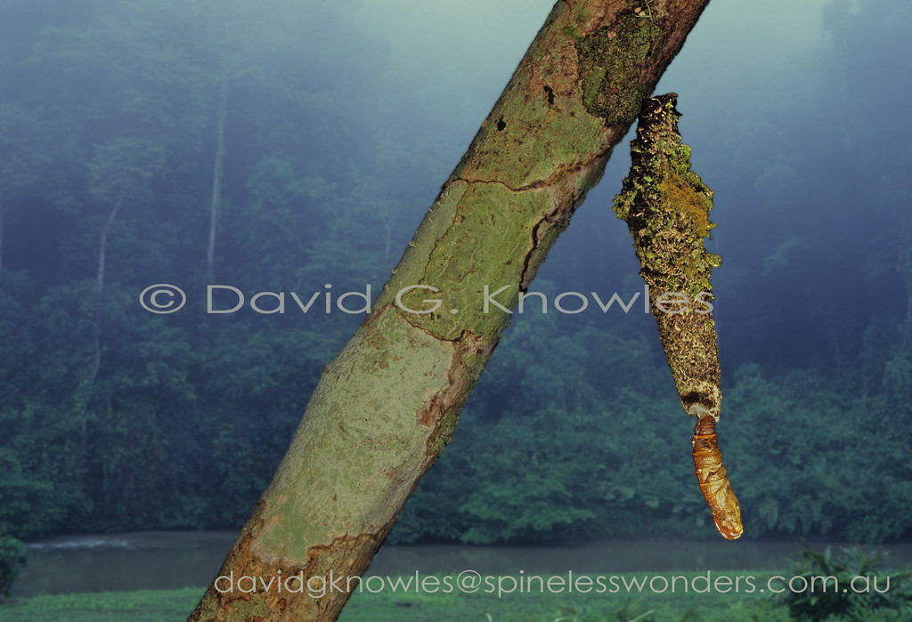 Casebearer moth caterpillars generally adorn their silken 'cases' with lichen and moss fragments in tropical environments. The pupa is always extruded from the bottom of the case. Caterpillars of some of the more well known species only create a case in the latter stages of their development