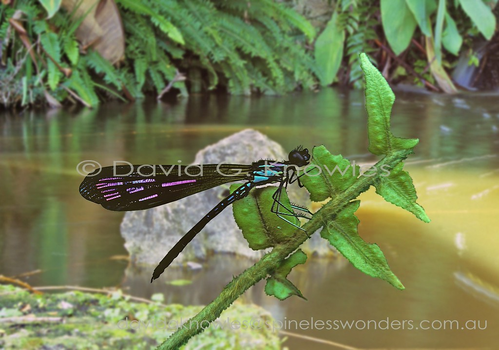 The glittering 'jewel' Family is best represented in Asia and Africa and contains some of the world's most colourful damselflies. The Family is also distinctive by way of the wings being longer than the body. The genus Rhinocypha extends from India, Japan, Philippines, Malaysia, Indonesia, to New Guinea and north eastern Australia. It is represented by almost 60 species. The metallic wing tints have a strong strobing effect and appear to disappear as the viewer's angle changes