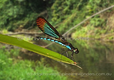 South East Asian Odonata (Damselflies)