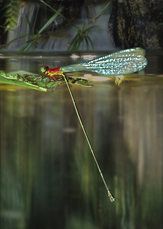 Pericnemis triangularis is one of the longer-bodied members of the Family Ceonagrionidae in South East Asia. Members of the genus are specialised to breeding in water-filled tree hollows and they are therefore rated as 'vulnerable' by the IUCN as a result of extensive logging in Borneo