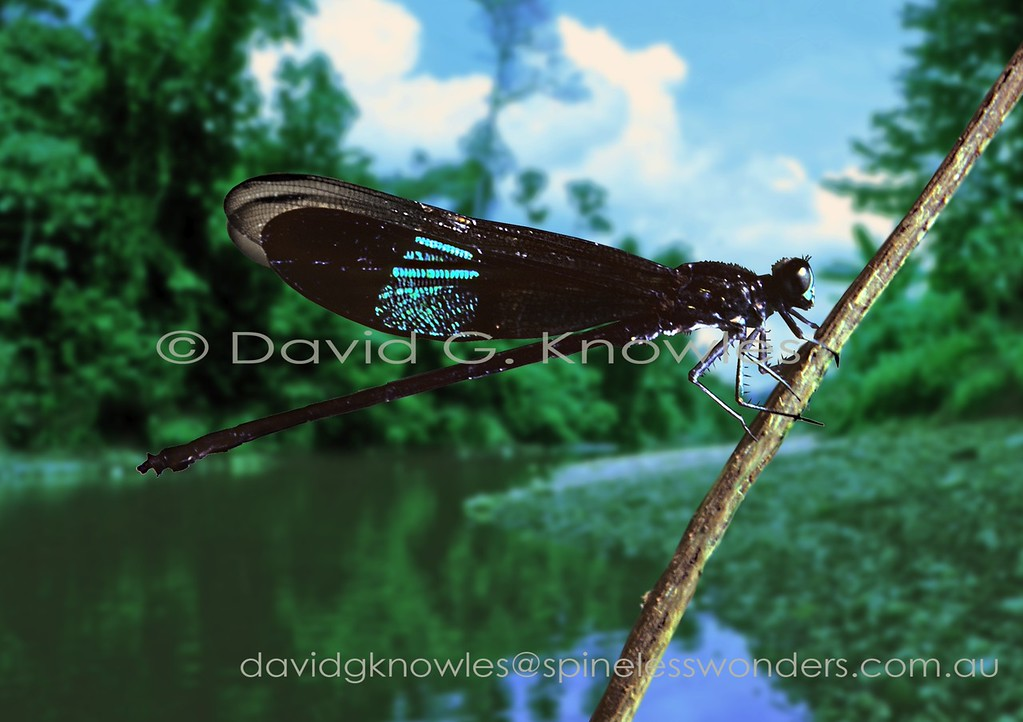 This is a small family of handsome short-bodied damselflies containing around 60 species that reach their centre of biodiversity in South East Asia. Some species have beautifully metallic wings which can only be appreciated during their short fluttering flight behaviour. Euphaea subcostalis is restricted to Borneo and the Philippines - Brunei, Indonesia (Kalimantan), Malaysia (Sabah, Sarawak), and the Philippines