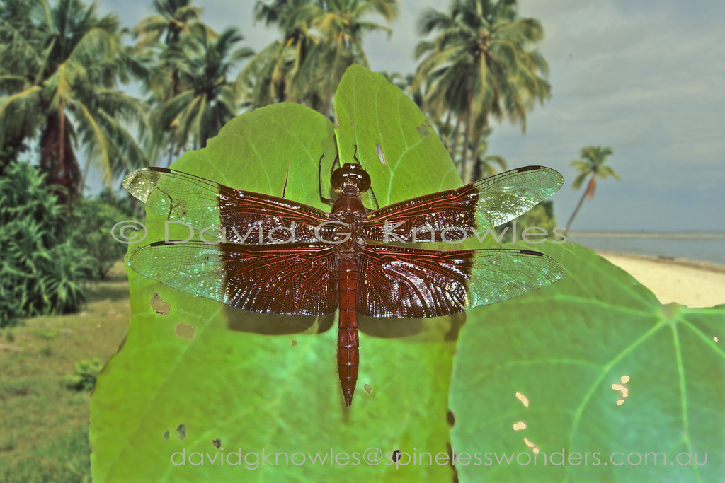 The genera Neurothemis and Camacinia are among the most distinctive and regularly encountered South East Asian dragonflies as their larvae are quite happy in city park ponds. The heavily pigmented dark wing pattern and classic familial perching behaviour, combined with a seeming lack of fear when humans approach them, seems to add to their overall 'charisma'. This species is noticeably larger and less common than its Neurothemis cousins