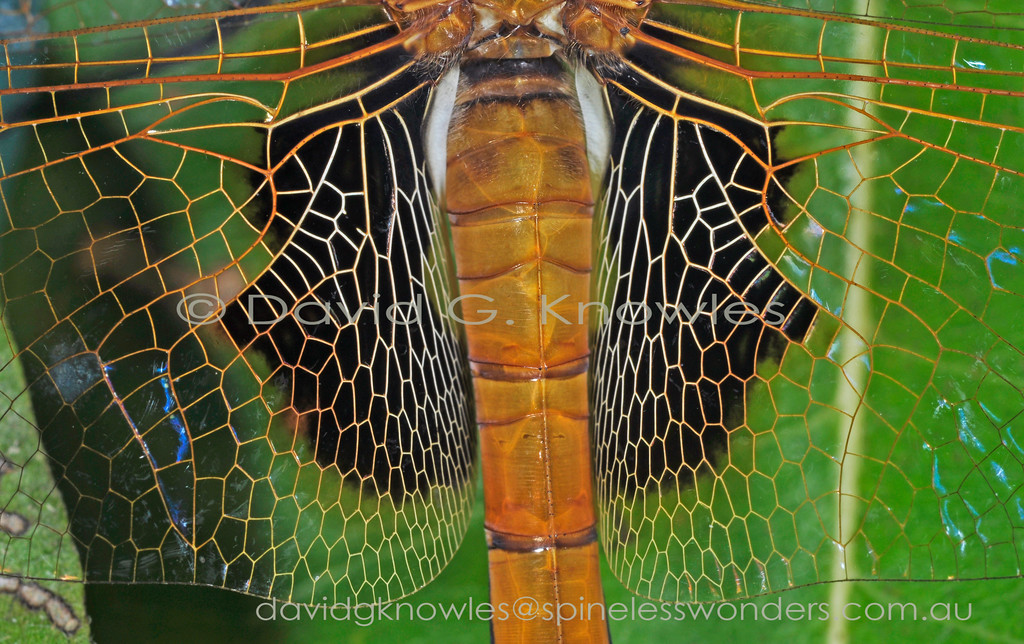 Beautiful networks are abundant in nature starting from the elegance of the DNA molecule and all its magnified fractal expressions as expressed on this female Common Glider's hindwing