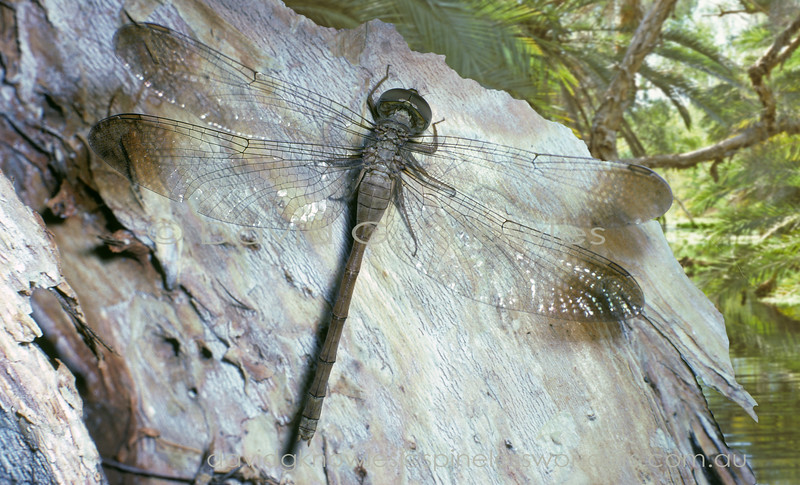 The Short-tailed Duskdarter, Zyxomma elgneri, occurs in Australia and New Guinea, and on surrounding islands