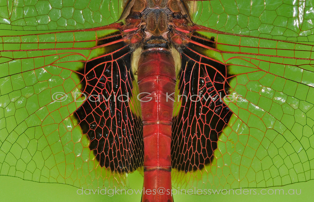 Beautiful networks are abundant in nature starting from the elegance of the DNA molecule and all its magnified fractal expressions as expressed on this male Common Glider's hindwing