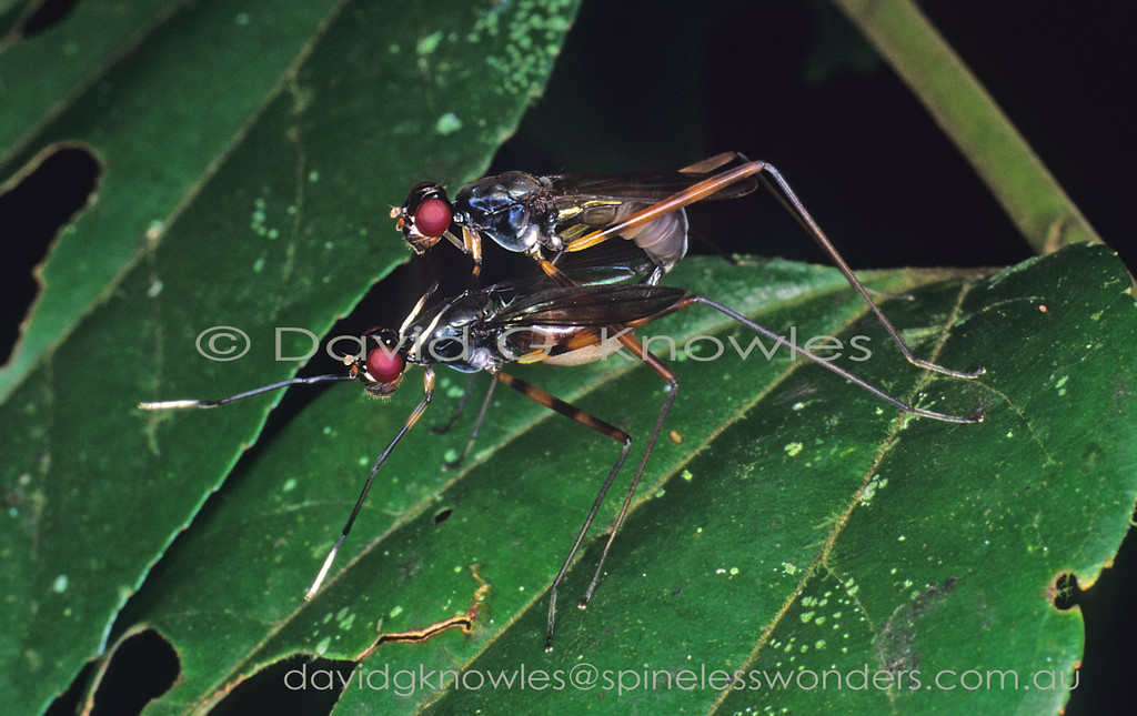 Whilst it is not unknown for members of some fly families to mimic stinging Ichneumonid wasps with a focus on the contrasting, continually waving, banded antennae. The female wasp model usually hunts for beetle larvae or caterpillars on logs and foliage with its wings in the folded position. The physical problem for a fly to solve to mimic the wasp antennae is that flies do not have long antennae. So the obvious way to 'create' false long black and white banded wasp antennae is to walk on four hind legs whilst waving your pair of 'painted' forelegs in a wasp-like fashion. Mimegralla albimana extends from India, Peninsular Malaysia, Java, then north to Borneo, Japan, Micronesia ranging as far south east as Papua New Guinea