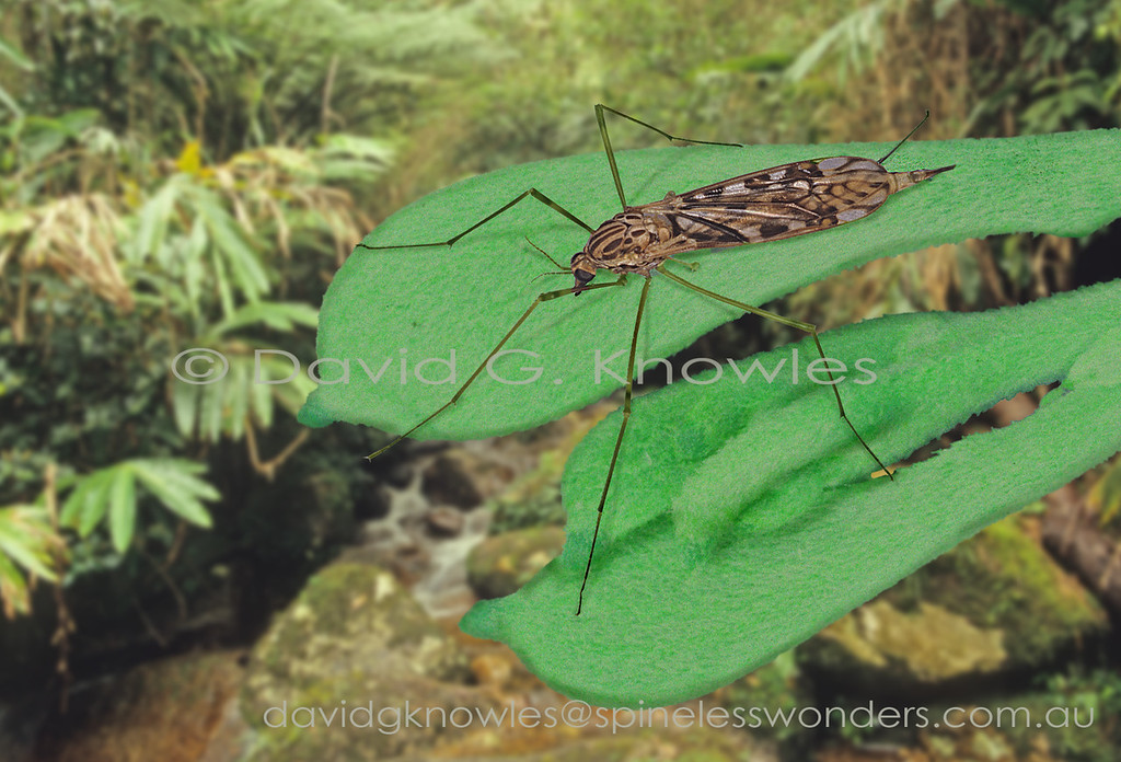 Craneflies are often mistaken for their relatives mosquitos. They are the more primitive part of the two-winged insects that also include midges and gnats. Most species in the tropics have larvae that are strongly tied to saturated semiaquatic habitats. The legs of the adult are extremely brittle. It is not uncommon to see five, four, even three legged individuals. However if you have lost all three legs on one side then you are out for the count