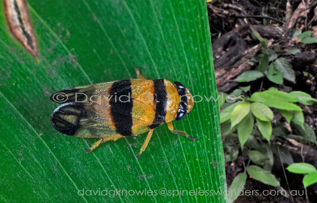 Aufidus trifasciatus occurs in north eastern Queensland, New Guinea and eastern Indonesia. It possibly mimics a poisonous leaf beetle of the family Chrysomelidae