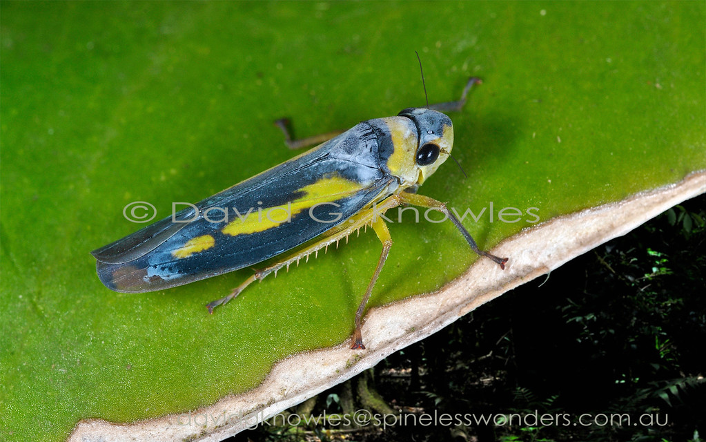 """The distant larger cousins of the diminutive leafhoppers are the cicadas. Male cicadas are well known around the world for their sound production. These little bugs can generate sound as well and like the cicadas it is the males that generate the sounds. Males make sounds by drumming the leaf or stem on which they perch to communicate basic messages like """"get out of my space """"and """"I am ready to mate"""". They also flutter their wings. Unlike cicadas some female leafhoppers can duet with the male though their repertoire is smaller. Humans cannot hear these minute sounds without amplification"""