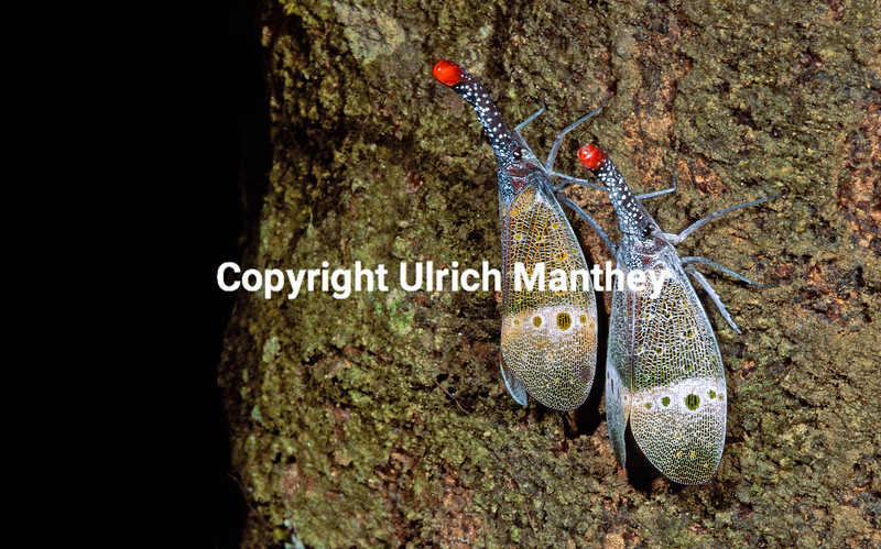 Pyrops pyrorhyncha extends from Peninsular Malaysia to Indonesia and Borneo