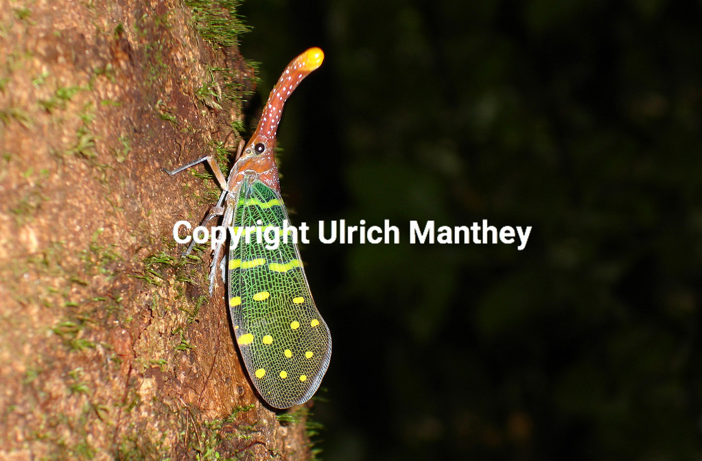 Pyrops intricatus is endemic to Borneo