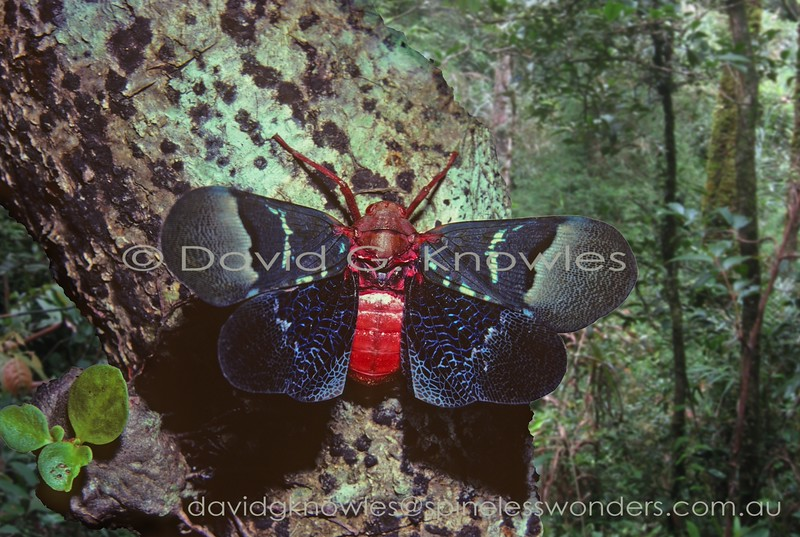 So called Lanternflies can be 'flashers'. Firstly this American-generated 'common' name is misleading as none of the Family are capable of producing light. By 'flashing' I refer to the 'startle effect' when a camouflaged animal senses a threat from a potential predator and suddenly opens the wings to reveal warning colours, or eyespots (common in moths). This element of surprise theoretically gives the 'flasher' a little extra time to make a quick exit