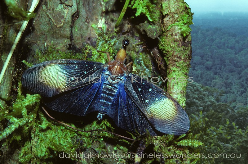 So called Lanternflies can be 'flashers'. Firstly this American-generated 'common' name is misleading as none of the Family are capable of producing light. By 'flashing' I refer to the 'startle effect' when a camouflaged animal senses a threat from a potential predator and suddenly opens the wings to reveal warning colours, or eyespots (common in moths). This element of surprise theoretically gives the 'flasher' a little extra time to make a quick exit. Pyrops gunjii is endemic to Borneo