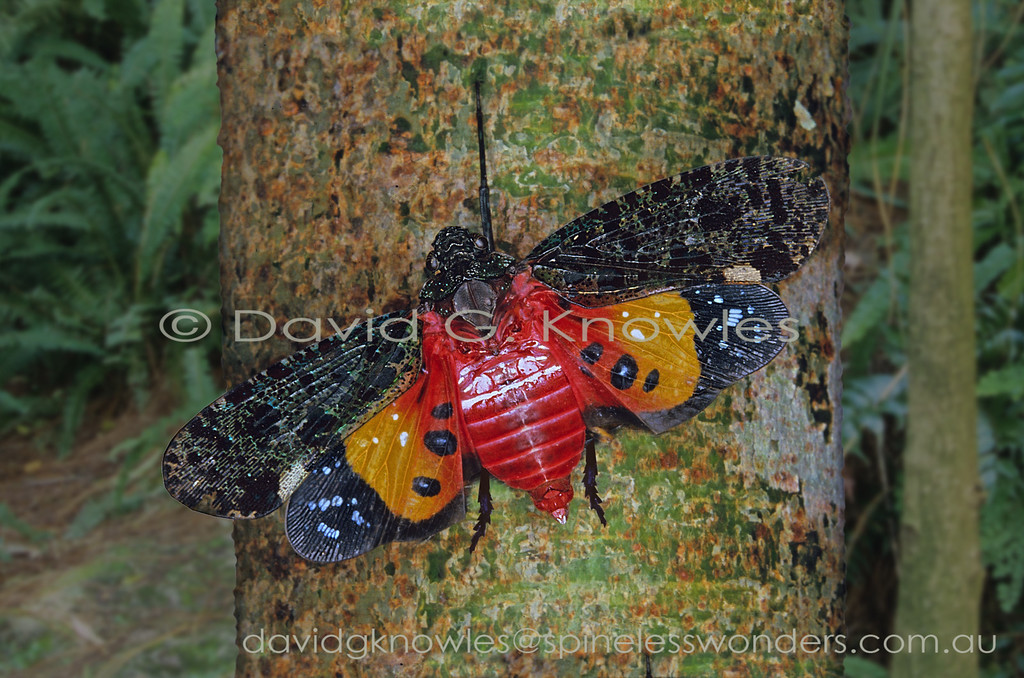 So called lanternflies can be 'flashers'. Firstly this American-generated 'common' name is misleading as none of the family are capable of producing light. By 'flashing' I refer to the 'startle effect' when a camouflaged animal senses a threat from a potential predator and suddenly opens the wings to reveal warning colours, or eyespots (common in moths). This element of surprise theoretically gives the 'flasher' a little extra time to make a quick exit. Penthicodes (Ereosoma) quadrimaculata extends from Sumatra and Java to Borneo