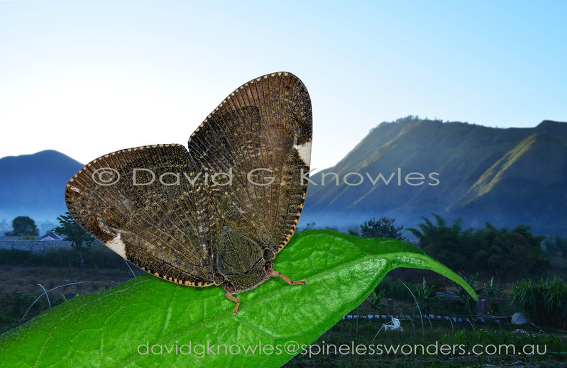 Ricaniid hoppers are immediately recognisable by the elevated fanlike posture of the wings when at rest. Most of the 400 odd species occur in the equatorial tropics. Some are known to produce an audible click as they launch themselves from the perch