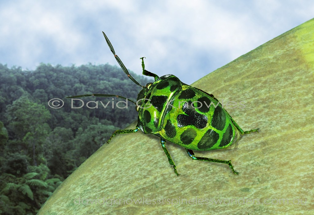 Many species of Jewel Bugs have a metallic green base colour over their heads, thoraxes and enlarged scutellums. The common pattern form is based on transversely arranged dark blotches. In this squat Sumatran species the pronotum (top of thorax) is notably expanded at its front margin which has given rise to its name 'dilaticollis' which translates tom 'dilated neck'. The blotches are more strongly enlarged than in most species. Chrysochoris dilaticollis extends from India, Myanmar, Peninsular Malaya, Thailand to Sumatra and Borneo