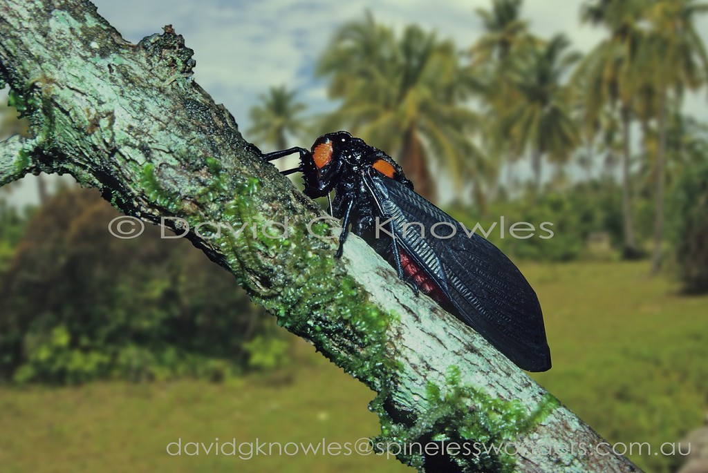 This is probably the most widespread South East Asian Tibicinid Cicada ranging from India to southern China and Borneo extending south east into Indonesia as far as Timor. Some how the traditional Chinese medicine experimentation crew discovered that this species, bearing warning colours indicating distasteful qualities, has medical value. The cicadas chemical profile is listed in a recent Chinese scientific analysis of toxic and potent compounds. Let us hope that its medical use is more efficacious than Rhinoceros horn