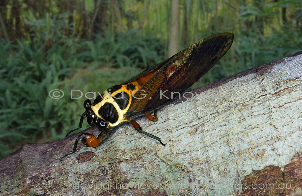 """One of the consistent differences of Tibicinid Cicadas from mainstream Cicadas is the presence of warning colours. These are used to advertise to potential predators the message that """"if you mess with me then I will cover you in a bad smell, give you a bad stomach ache, bite you, or sting you , or both""""! In the case of these Cicadas reddish-orange pigments combined with black warn of bad taste, especially if the insect is feeding on a poisonous plant and is able to sequester the poison towards its own defences. However there is often a cost when an inexperienced predator crunches the insect before spitting it out. This may cause a mortal injury to the prey though the next time the predator encounters the same species they will have hopefully learned from their unpleasant experience"""