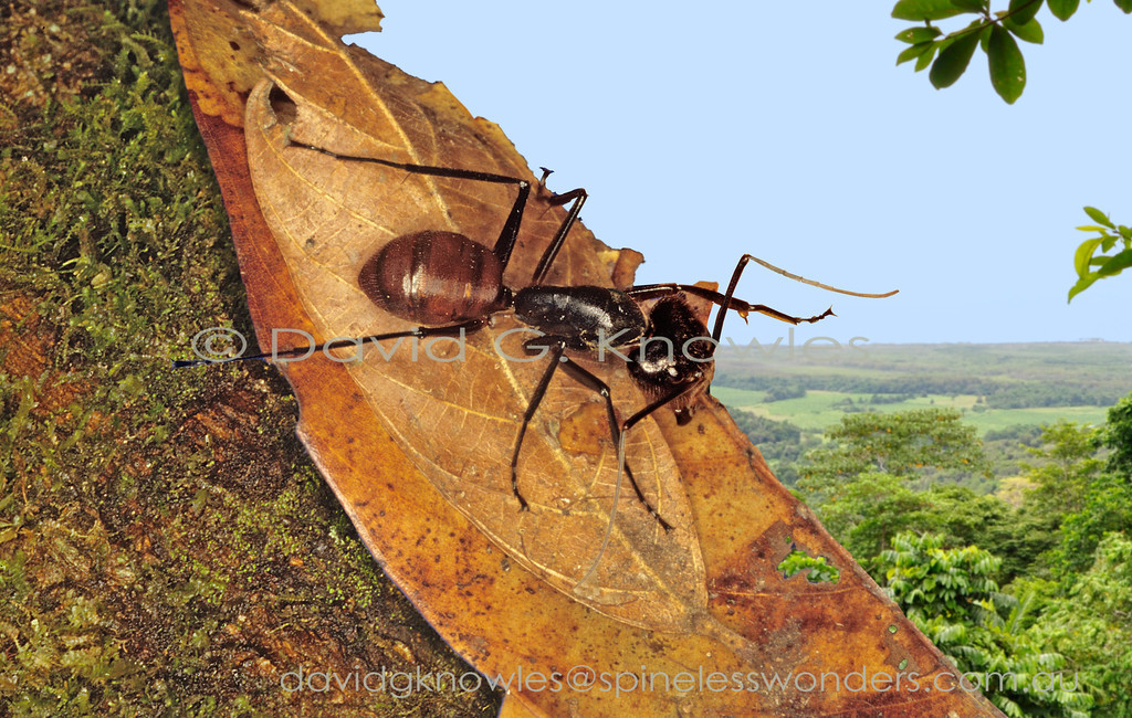 The Giant Forest Ant Dinomyrmex gigas borneensis (soldier)