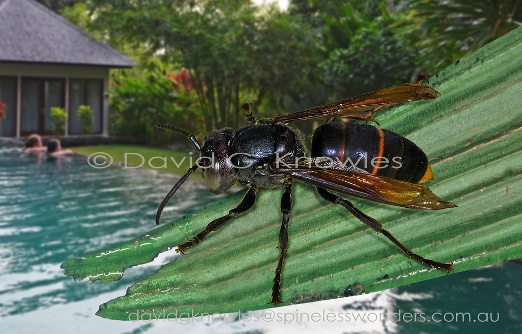 The paper nest wasp family contains the world's heaviest wasp (Giant Hornet) that is also a member of the genus Vespa. Vespa analis is one of the most widespread and variable hornets occurring from temperate eastern Asia to South East Asia, extending further south east through Indonesia into the lesser Sunda Islands