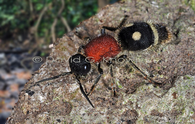 South East Asian Hymenoptera (ants, bees, wasps)