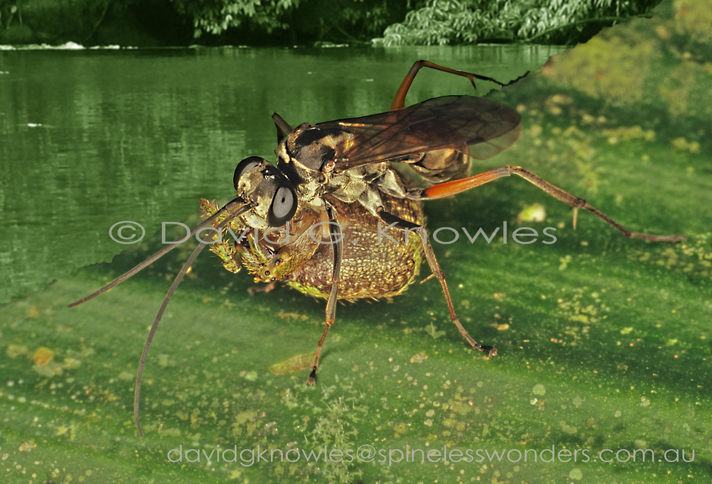 Insects are the major animal population controllers of spiders, whether they sit in webs, in holes in the ground or wood, and under and on bark. Wasps of the family Pompillidae are the most well known of the spider-hunting wasps and include some of the world's largest wasps like the tarantula hawks from the Americas. Primitive female members of the family simply sting their spider prey and either fly off with them or drag them away to their nests if they are large. Modern members have evolved the habit of amputating the paralysed spider's legs increasing the portability and saving energy during transport. This Bornean species belongs in the latter group