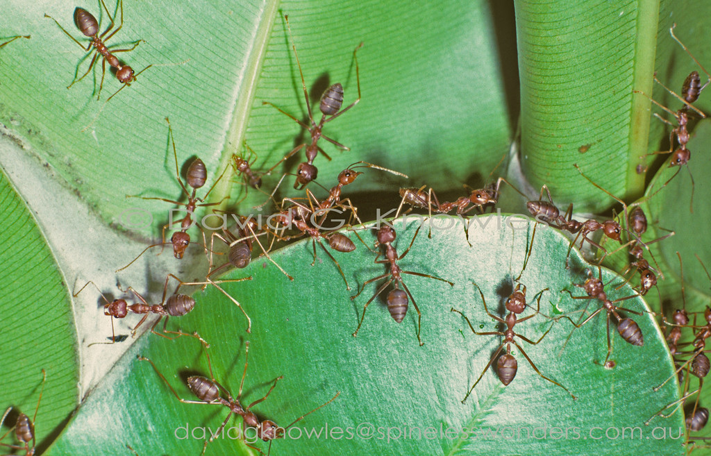 Oecophylla smaragdina (workers) protecting arboreal nest. This species extends from India and the Himalayas south east to Singapore, Malaysia, Borneo, the Philippines then further south and east to Indonesia, New Guinea and northern Australia