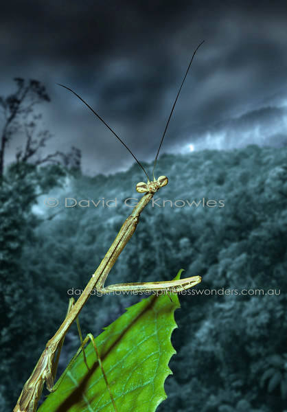 South East Asian Mantodea (Preying Mantis, Preying Mantids)