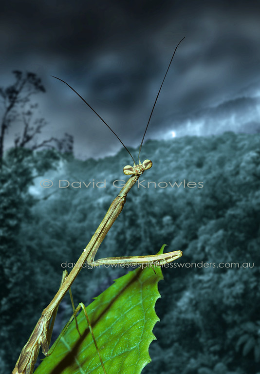 The South East Asian rainforests are home to many stick insect species including the world's longest insects. From a predator's point of view this means a source of protein. This relatively large mantis is not built to subdue powerful prey. I would suspect, like it's lightly built cousins in the Family Toxoderidae, it may well specialise in controlling the populations of phasmids